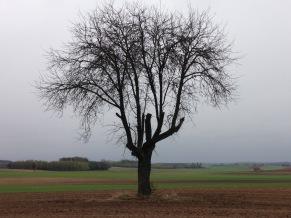 Samotne drzewo, w tle Patków Prusy